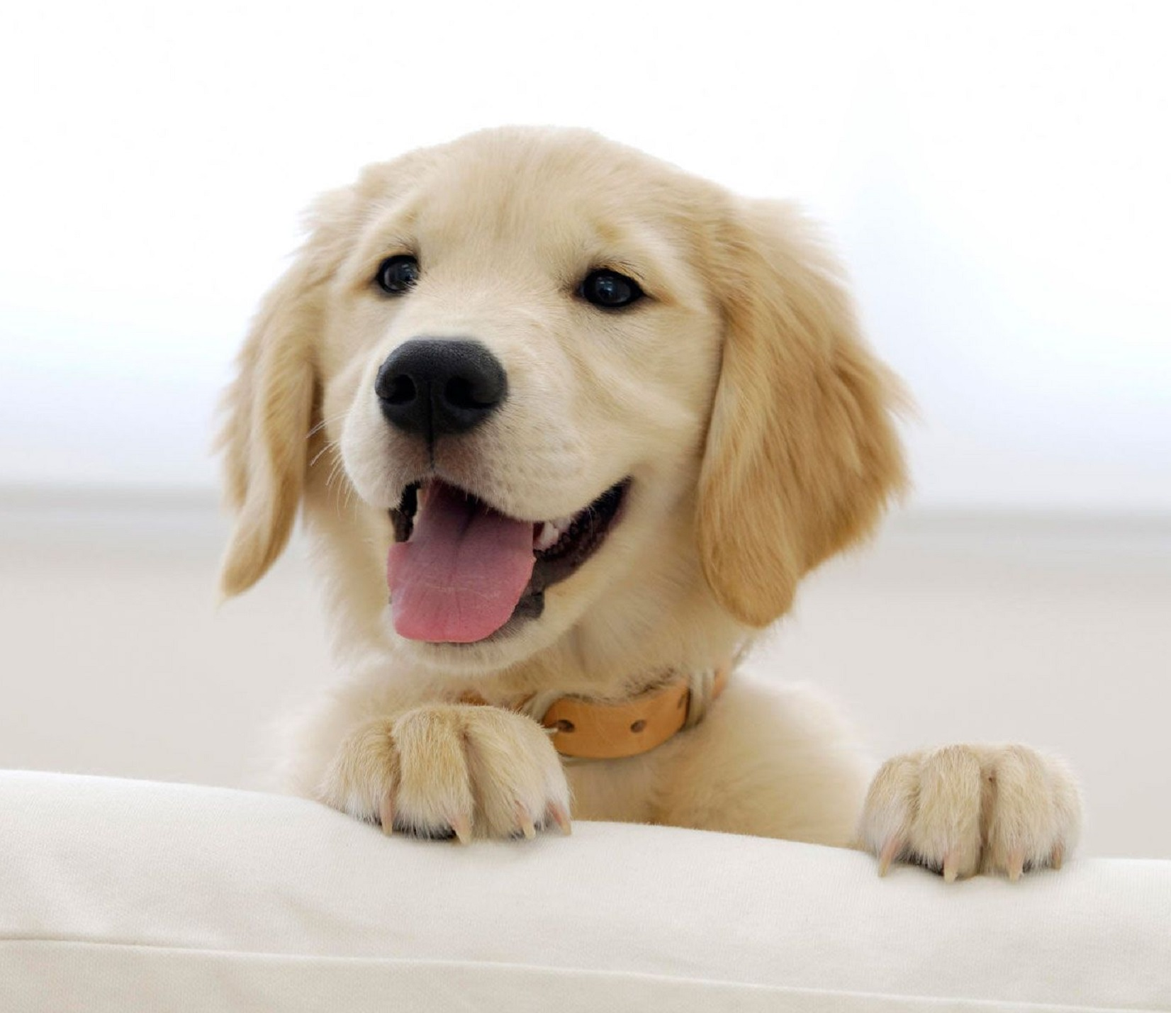 7068-golden-retriever-puppy-1920x1200-animal-wallpaper