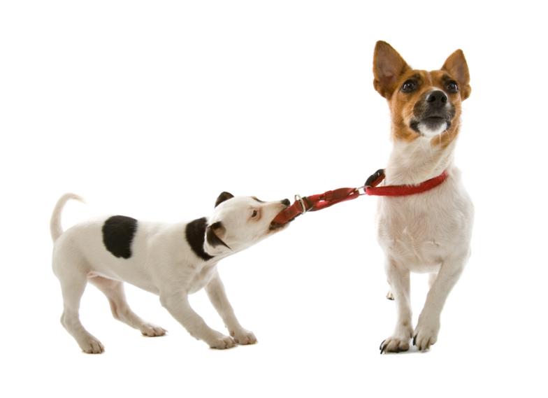 8.-Dog-pulling-on-other-dog-784x569